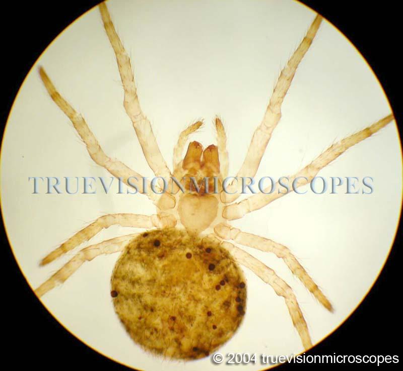 Microscopes TrueVision » Blog Archive 40x – 400x COMPOUND ...